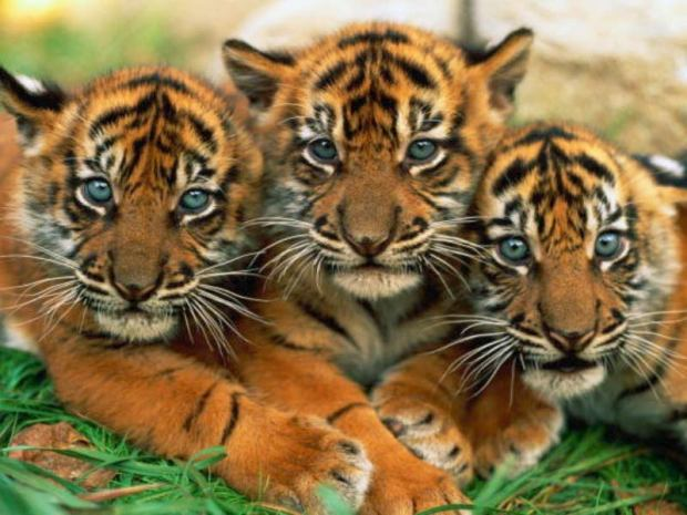 Baby tigers - what's not to love?